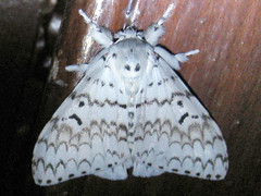 Balinese moth (David Bygott) Tags: bali white male indonesia moth lepidoptera iseh