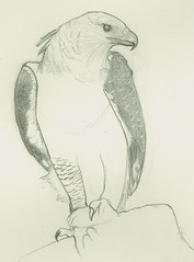 (Gabriel Dionisio Ramos) Tags: méxico mexico eagle drawing drawings draw dibujos dibujo ilustrador aguila mejico águila harpia méjico harpiaharpyja aguilaharpia harpía águilaharpía gabrielramos gabrieldionisioramosromo