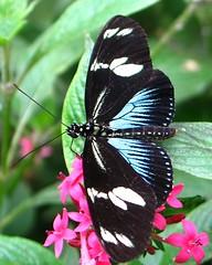 Doris Longwing... (Heartlover1717) Tags: usa dorislongwing westfordma laparusdoris thedorisbluemorph thebutterflyplaceanindoorgardenfilledwithhundredsoffreeflyingbutterflies