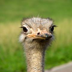 Avestruz (luigi1267) Tags: avestruz cabarceno