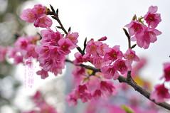 DSC_9723 (becky-photo.com(FB:photobybeckys)) Tags: pink flower sakura   wuling