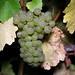 2012 Cal Plans Woods Chardonnay Harvest 0014