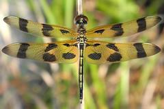 Halloween Pennant (Celithemis eponina) Male (Rezamink) Tags: usa dragonflies odonata halloweenpennant celithemiseponina