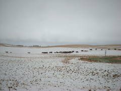 Oct. 5, 2012 (Jeannette Greaves) Tags: snow j gm cattle d move h pasture snowing 2012