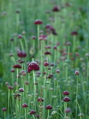 Dans la foule ... ** (Titole) Tags: flowers field purple many scabious scabieuse friendlychallenges thechallengefactory titole nicolefaton