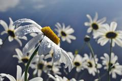 DSC_0016 - Daisy in sunlight (SWJuk) Tags: uk autumn england sunlight macro home closeup daisies canal nikon lancashire waterdroplets 2012 burnley leedsliverpoolcanal d90 nikond90 myfreecopyright swjuk mygearandme oct2012 rememberthatmomentlevel1