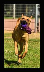 Queen SABA aka Rantanplan ;) (ACIDIRK ;-)) Tags: nikon d80 sigma150mmf28 noflashfired daylight summer sommer hund dog animals deutschland kaiserslautern stadtpark
