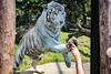 Play with the tiger 1 (Rolf Piepenbring) Tags: weisertiger tiger zoooverloon white whitetiger wittetijger