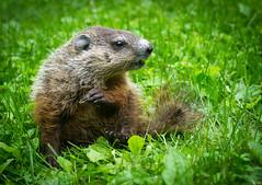 Marmot (Wild Birdy) Tags: mn minnesota usa wild wildlife animal cute creepy woodchuck grass marmot groundhog marmotamonax mmonax