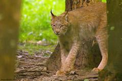 Lynx (Phil du Valois) Tags: lynx faune sauvage prdateur flin parcdesflins