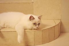 Canon_20160819007 (Snowy Olaf) Tags: kitten britishlonghair       feliscatus   canon eos400d ef50mmcompactmacro f25