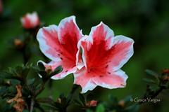 Azalia ( Graa Vargas ) Tags: rhododendron azalia flower graavargas 2016graavargasallrightsreserved mv canoneos400d