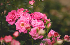 ..for myself ^^ (Kiss Midori) Tags: roses beautiful lovely nature flower pink