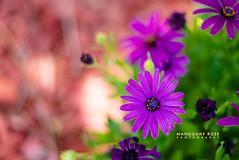 Diversion (Mahogany Rose Photography) Tags: purple flowers nikon d600 nature naturallight california 50mm outdoors
