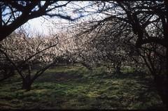 (bensn) Tags: pentax lx industar 50mm f35 film slide velvia 50 japan gunma plum blossoms flowers trees