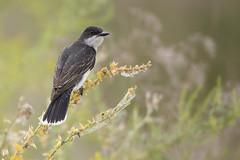 Road 22 Eastern Kingbird (Jeff Dyck) Tags: eastern kingbird easternkingbird tyrannustyrannus osoyoos bc britishcolumbia okanagan birds jeffdyck