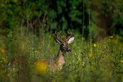 DaylightBuck (jmishefske) Tags: wehr nikon nature center whitnall milwaukee franklin d800e antler wildlife rack wisconsin august whitetail park velvet buck deer 2016