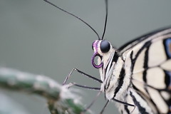 Look me in the eye (Wim van Bezouw) Tags: butterfly macro insect nature outdoor selectiveconceptualdof