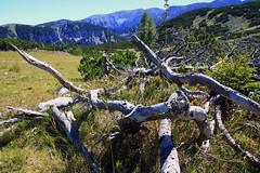 Bergkiefer (rubrafoto) Tags: sommer höss hinterstoder oberösterreich skigebiet gebirge totesgebirge gebirgspanorama panorama kiefer bergkiefer legföhren latschen äste natur landschaft sommerlandschaft tourismus alpinesgelände wandern wandergebiet ooe