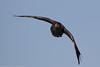 Pacific black duck 0L2A3785 (Kelvin Param) Tags: glenroy victoria australia