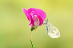Romantica... (Zbyszek Walkiewicz) Tags: closeup coth macro sony butterflies butterfly coth5