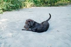 chase-roam-early-morning-mamquam-200816-ajbarlas-1259.jpg (A R D O R) Tags: ajbarlas ardorphotography blacklab chase chocolatelab dogs labrador puppy roam