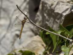 Parotet #5 ( alfanhu) Tags: parotet parot libllula liblula dragonfly macro closeup insect insecte insecto sella ro river riu heura ivy hiedra