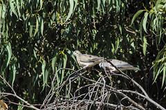 eared dove (arcibald) Tags: zenaidaauriculata eareddove dove bird birds aves maca arequipa peru colcacanyon colca canyon