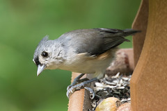 Tufted Titmouse at Ashland Nature Center-2 (Scott Alan McClurg) Tags: animal ashland ashlandnaturecenter bird bokeh center forest life nature naturephotography perch perching smallbirds songbird spring suburbs titmouse tree tufted tuftedtitmouse wild wildlife woods yard