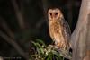 Masked Owl -2878 (Henry.Cook) Tags: maskedowl owl tytonovaehollandiae tyto bird birding juvenile baby cute predation possum ringtailed
