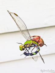 Spider eating Dragonfly_1971 (Glenn D. Hudson) Tags: glennhudsonphoto iphone lightroom3 spider dragonfly southernnewjersey