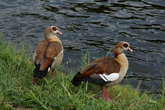 Egyptian Geese Beside A Dutch Canal (elhawk) Tags: northholland feral egyptiangeese pair