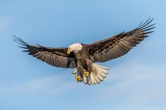 Bald Eagle Searching (Andy Morffew) Tags: baldeagle inflight searching looking spreadwings fullframe uncropped kachemakbay alaska andymorffew morffew explore explored