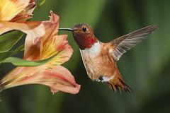 The Right Spot (Patricia Ware) Tags: allenshummingbird alstroemeria backyard birdsinflight california canon ef500mmf4lisusm manhattanbeach multipleflash selasphorussasin tripod httppwarezenfoliocom 2016patriciawareallrightsreserved specanimal