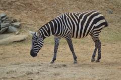 maneless zebra Equus quagga borensis (James L Taylor) Tags: colchester zoo 7916 maneless zebra equus quagga borensis