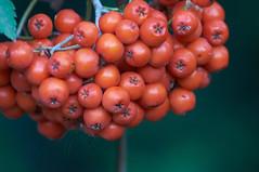 Rowan  Berries (tim ellis) Tags: red berry berries rowan tree plant bunch suttoncoldfield uk