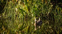 Mud Lake Ducks  : September 23, 2016 (jpeltzer) Tags: ottawa ottawariver mudlake duck ducks birds