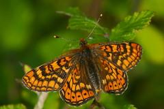 Euphydryas aurinia (3) (JoseDelgar) Tags: josedelgar insecto mariposa euphydryasaurinia coth coth5 alittlebeauty sunrays5 ngc npc