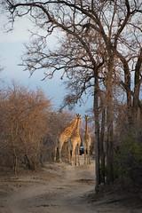 Traffic Jam in the South African Bush! (Michelle Tuttle) Tags: southafrica africa giraffe nature animals wildlife bush game gamedrive sunset evening trafficjam roadblock
