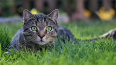 Sethi in the grass (FocusPocus Photography) Tags: sethi katze kater cat chat gato tier animal haustier pet gras grass rasen lawn