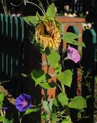 Purpur-Prunkwinde (Ipomoea purpurea); Bergenhusen, Stapelholm (5) (Chironius) Tags: stapelholm bergenhusen schleswigholstein deutschland germany allemagne alemania germania    ogie pomie szlezwigholsztyn niemcy pomienie blte blossom flower fleur flor fiore blten    asterids campanuliids solanales nachtschattenartige convolvulaceae windengewchse ipomoea prunkwinde blau rosa