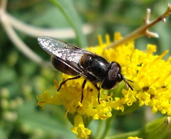 Copestylum marginatum group (Birdernaturalist) Tags: arizona syrphidae eristalinae volucellini