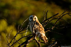 Short-earead Owl or Pueo (Asio flammeus sandwichensis) - endemic Hawaiian subspecies (Steve Arena) Tags: bird hawaii owl seow shortearedowl pueo