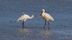 "SPOONBILLS  ""Platalea leucorodia""  best viewed large (Trevsbirds) Tags: spoonbill me2youphotographylevel1 freedomtosoarlevel1birdphotosonly"
