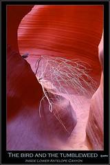 The bird and the tumbleweed (pharoahsax) Tags: world arizona usa get southwest bird colors america canyon best page antelope lower slot amerika tumbleweed vogel 2012 südwesten pmbvw worldgetcolors