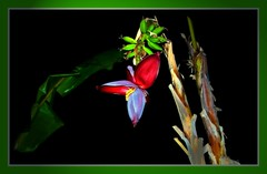 Banana tree with flower and fruit (FotoArtCircle) Tags: flower tree natur trkei nachtaufnahme bananen botanik bananenstaude trkischeriviera jantung colakli bananenblte bananenfrucht richardvonlenzano rememberthatmomentlevel1 sidecolakli bananatreewithflowerandfruit bananenstaudemitblteundfrucht