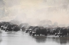 Buffalos in the dust! (Piet Grobler) Tags: sony capebuffalo krugerpark buffel synceruscaffer africanbuffalo