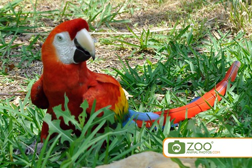 Red Macaw Walking