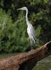 Grey Heron (Wild Chroma) Tags: heron birds ardea ardeacinerea srilanka cinerea nonpasserines muthurajawela