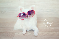 Love you, Silly!! (Kidzmom2009) Tags: dog pet chihuahua silly cute love sunglasses puppy glasses funny sweet innocent humor 7months heartglasses longhairedchihuahua dogwearingsunglasses whitechihuahua kidzmom2009 kfsphotography puppywearingsunglasses